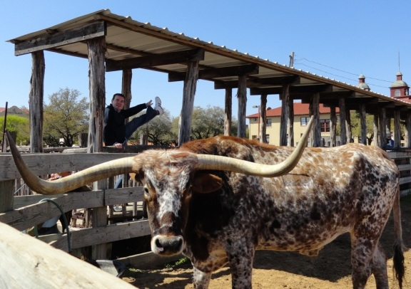 Colt.45, Fort Worth herd longhorn, Stockyards, Fort Worth, TX - March 2013