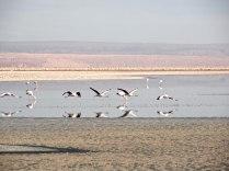 Part of the Salar de Atacama is the National Flamingo Reserve.