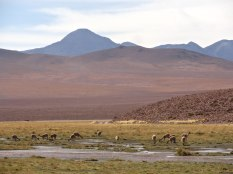 A herd of Vicuñas grazing on some grass just south of El Tatio.