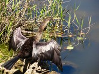 An anhinga drying his wings.
