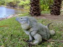 This is also one of the few habitats for the endemic Blue Iguana.
