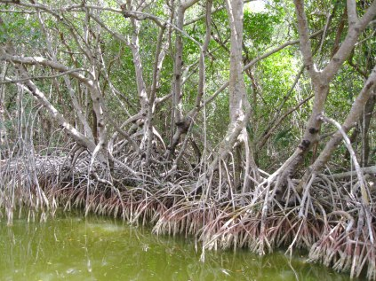 Mangrove forest along the Flamingo Canal. This was our guided back country boat tour.
