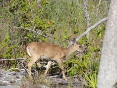 The National Key Deer Refuge on Big Pine Key is the only place where this species lives. It's hard to tell the scale, but this guy is only about 18 inches tall at the shoulder.