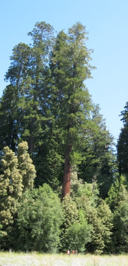 Tall tree (center) - can you find us?