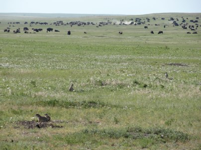 Prairie Dogs and Bison share a landscape in the Badlands.