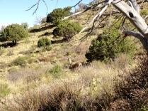 Guadalupe Peak Deer