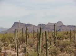 Everywhere you look, saguaros bask in the sunshine.