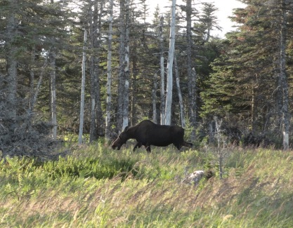 During our ranger-guided hike to view the sunset from the Skyline Trail, we were alerted to the presence of a moose and diverted our route to see her.