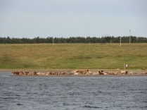 Even the Acadian cows in Cheticamp, NS love the beach.