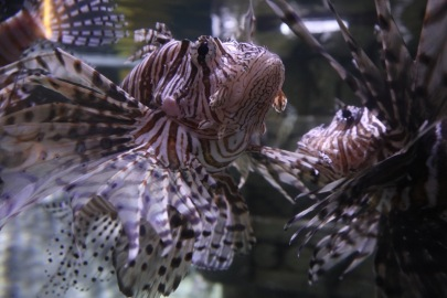 Lionfish's fin game is on point.