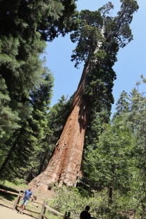 General Grant giant sequoia in Kings Canyon, the 3rd-largest tree by volume in the world. (267 feet tall)