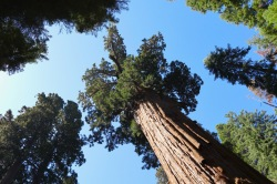 General Sherman tree in Sequoia National Park, the largest tree by volume in the world. (275 feet tall)