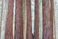 Wall of giant sequoias in the Giant Forest.