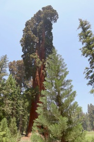 Mature sequoia in the background and a baby in the foreground, their appearance varies dramatically with age.