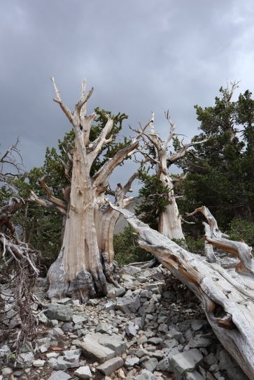 Great Basin contains several groves of ancient Bristlecone pines, the oldest trees in the world.