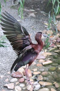 """""""Look at my wing"""" says this bird at the Tracy Aviary in Salt Lake City."""