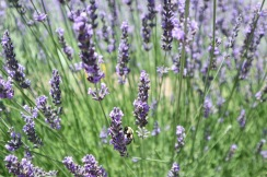 Bumblebee and Lavender at the Denver Botanic Garden.