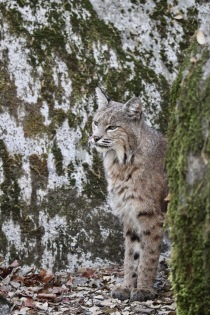 This bobcat along the Mirror Lake Trail didn't seem concerned by our presence at all.