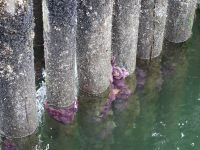 Starfish on a dock in Sechelt