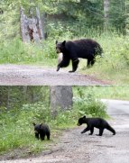 We woke up to mama bear and her three cubs in the next campsite at Pocahontas Campground in Jasper!