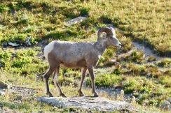 Mr. Bighorn Sheep seemed to be posing for tourists at the top of Logan Pass.