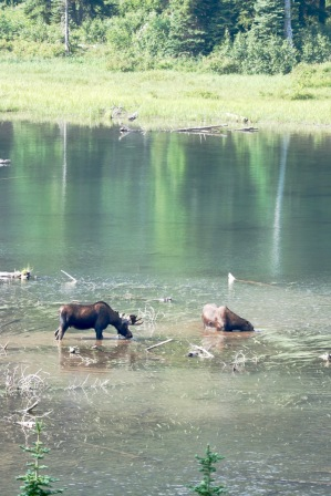 We saw this moose couple grazing near Upper Two Medicine Lake. Majestic.